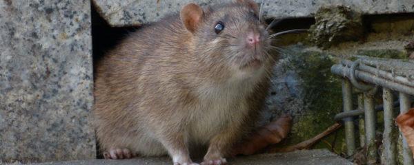 Débarrasser de rat
